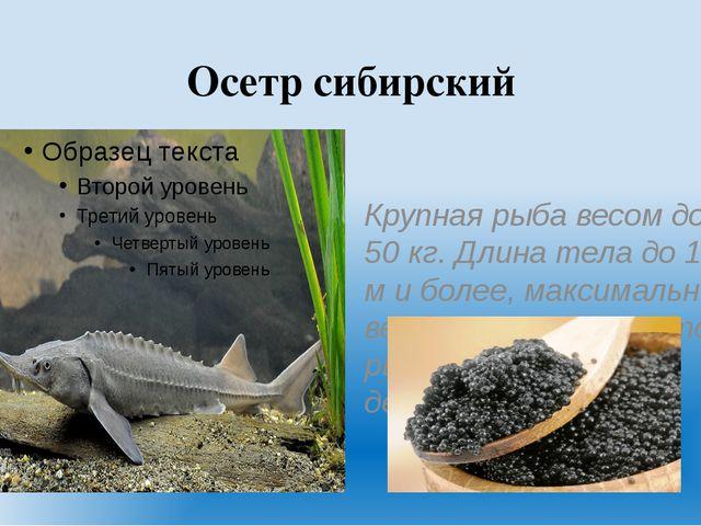 Осетр сибирский Крупная рыба весом до 50 кг. Длина тела до 1.5 м и более, мак...