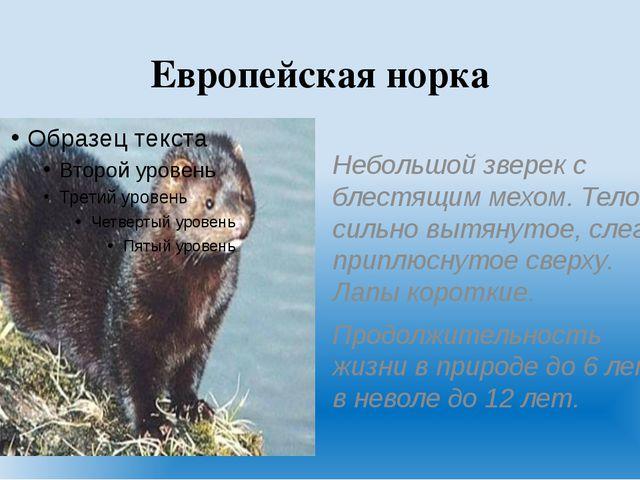 Европейская норка Небольшой зверек с блестящим мехом. Тело сильно вытянутое,...