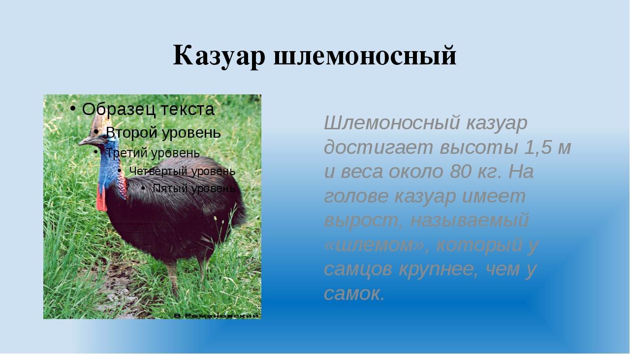 Казуар шлемоносный Шлемоносный казуар достигает высоты 1,5м и веса около 80...