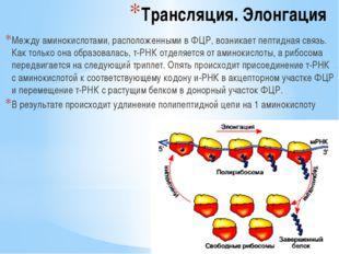 Трансляция. Элонгация Между аминокислотами, расположенными в ФЦР, возникает п