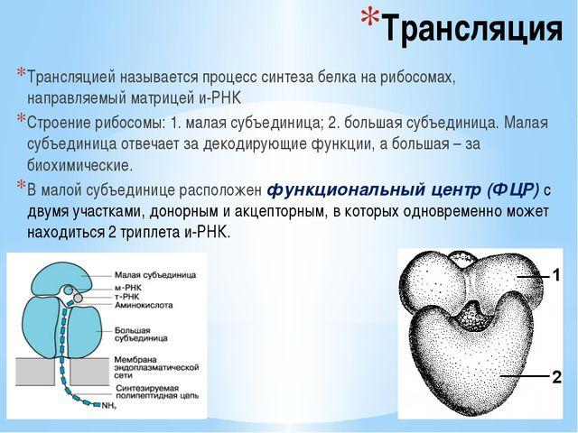 Трансляция Трансляцией называется процесс синтеза белка на рибосомах, направл...