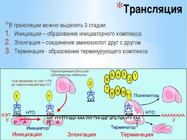 Трансляция В трансляции можно выделить 3 стадии: Инициации – образование иниц...