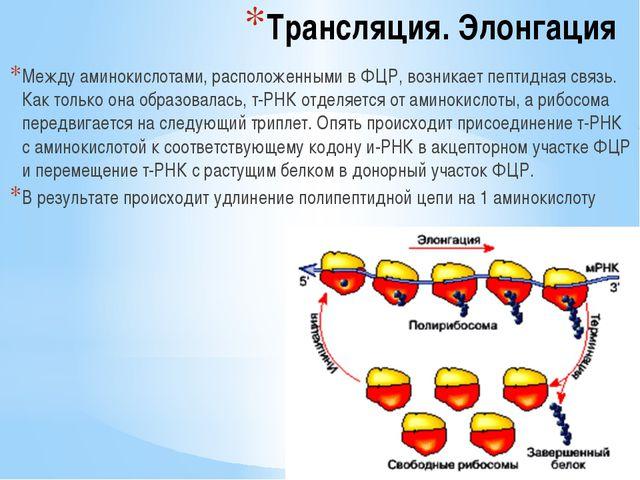 Трансляция. Элонгация Между аминокислотами, расположенными в ФЦР, возникает п...