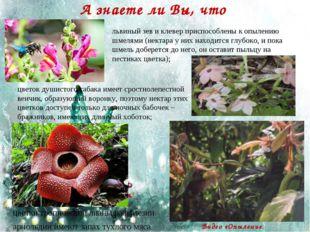 А знаете ли Вы, что цветки тропической лианы раффлезии арнольдии имеют запах