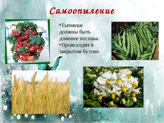 Самоопыление Тычинки должны быть длиннее пестика. Происходит в закрытом бутоне.