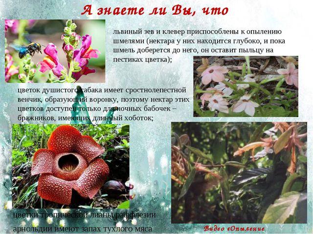 А знаете ли Вы, что цветки тропической лианы раффлезии арнольдии имеют запах...