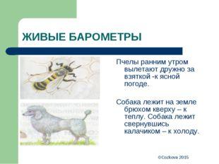 ©Cozkova 2015 ЖИВЫЕ БАРОМЕТРЫ Пчелы ранним утром вылетают дружно за взяткой -