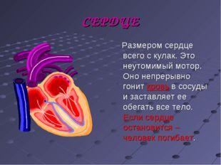 СЕРДЦЕ Размером сердце всего с кулак. Это неутомимый мотор. Оно непрерывно го