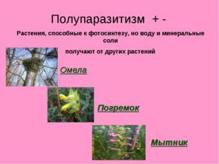 Полупаразитизм + - Растения, способные к фотосинтезу, но воду и минеральные с
