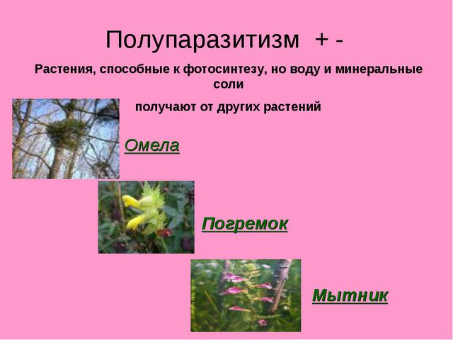 Полупаразитизм + - Растения, способные к фотосинтезу, но воду и минеральные с...