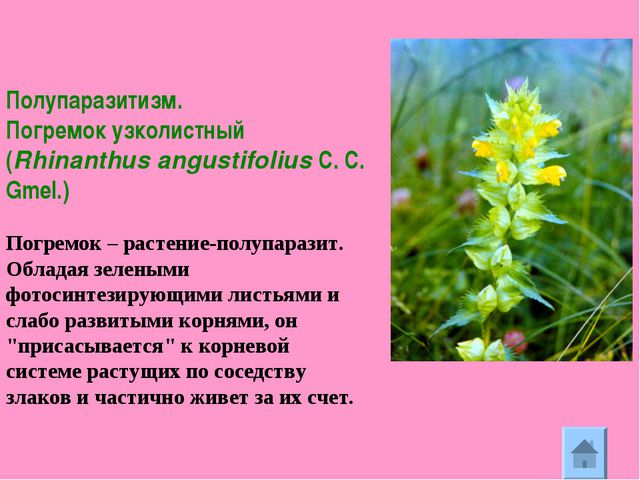 Полупаразитизм. Погремок узколистный (Rhinanthus angustifolius C. C. Gmel.)...