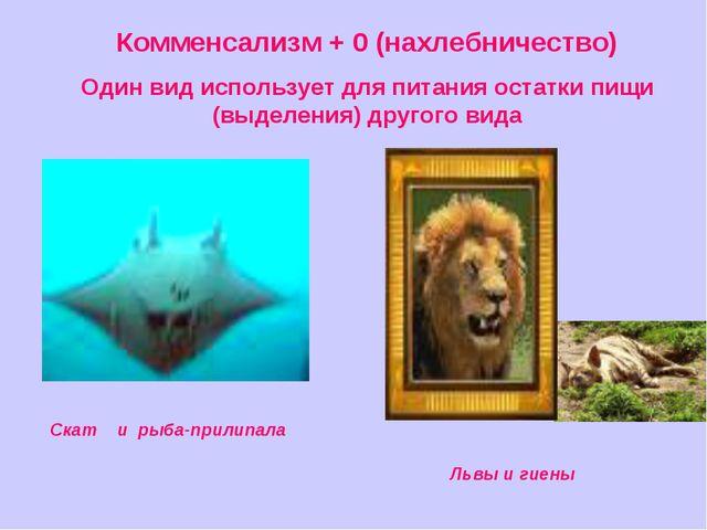 Комменсализм + 0 (нахлебничество) Один вид использует для питания остатки пищ...