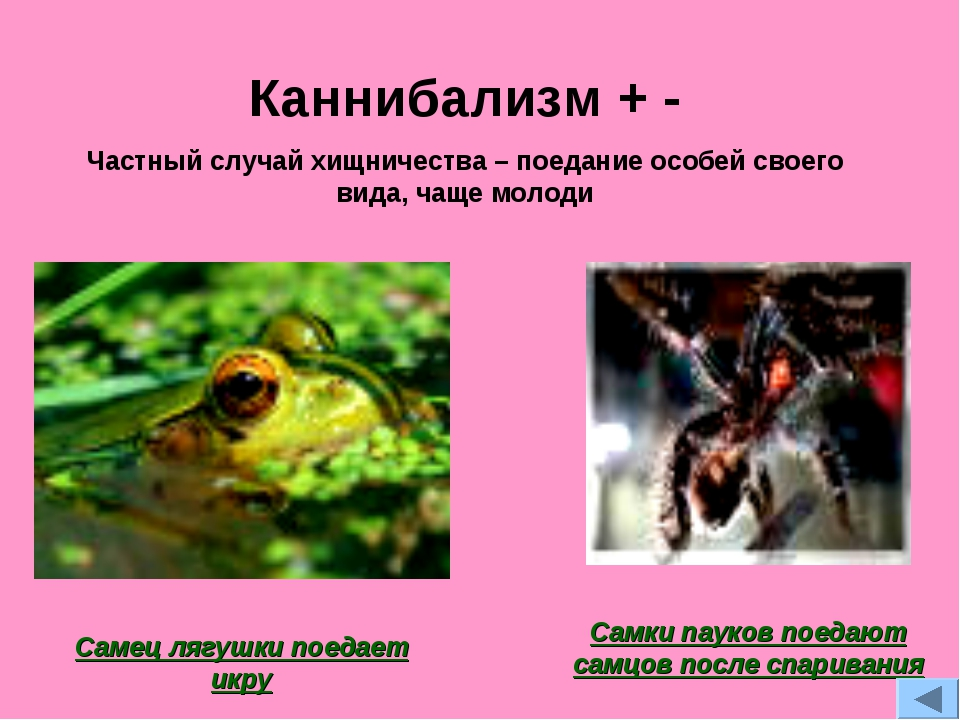 Каннибализм + - Частный случай хищничества – поедание особей своего вида, чащ...