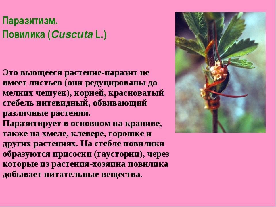 Паразитизм. Повилика (Cuscuta L.) ...