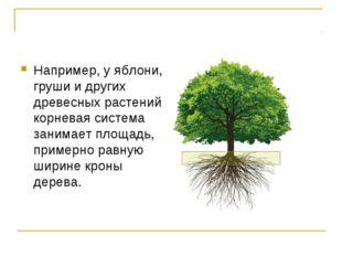 Например, у яблони, груши и других древесных растений корневая система занима
