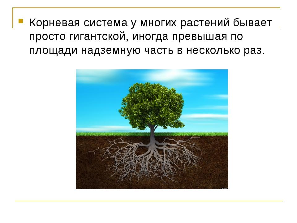 Корневая система у многих растений бывает просто гигантской, иногда превышая...