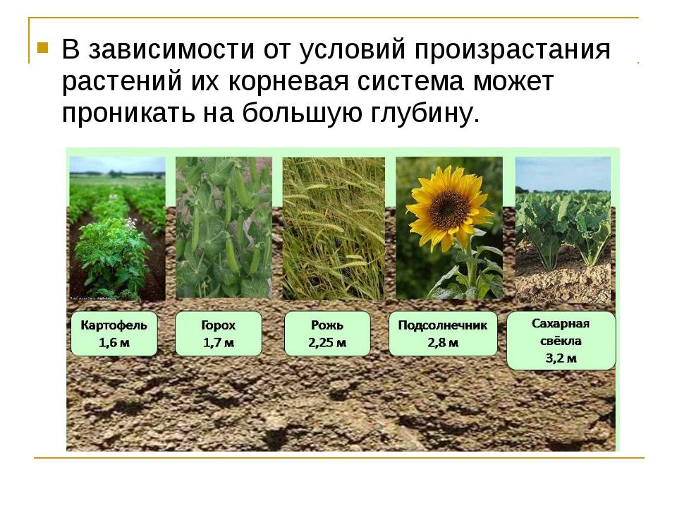 В зависимости от условий произрастания растений их корневая система может про...