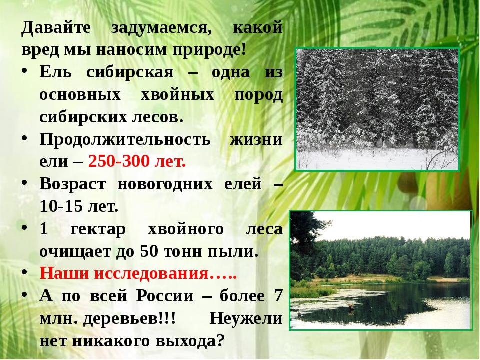 Давайте задумаемся, какой вред мы наносим природе! Ель сибирская – одна из ос...