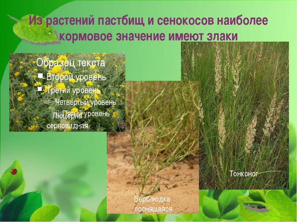 Из растений пастбищ и сенокосов наиболее кормовое значение имеют злаки Люцерн...