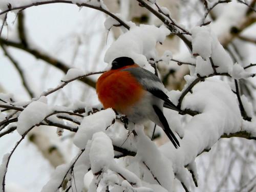 Снегири. (30 фото)