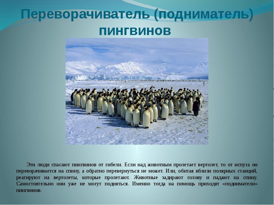Переворачиватель (подниматель) пингвинов Эти люди спасают пингвинов от гибели...