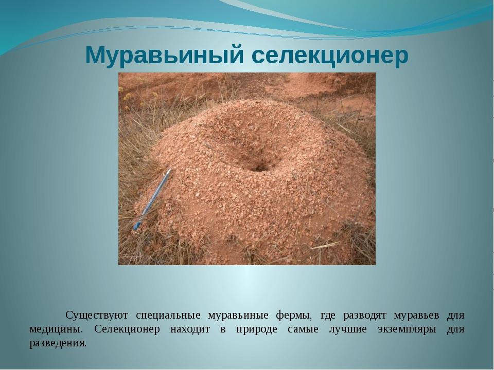 Муравьиный селекционер Существуют специальные муравьиные фермы, где разводят...