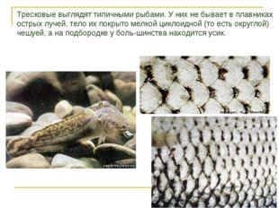 Тресковые выглядят типичными рыбами. У них не бывает в плавниках острых лучей