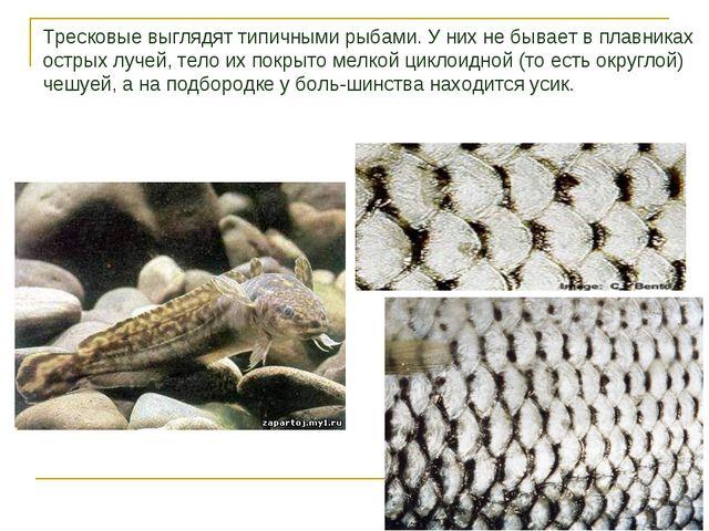 Тресковые выглядят типичными рыбами. У них не бывает в плавниках острых лучей...