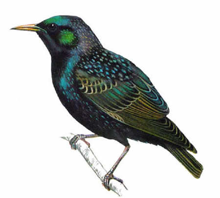 http://www.fortunespawn.com/wp-content/uploads/2007/05/starling.jpg