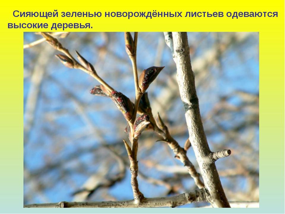 Сияющей зеленью новорождённых листьев одеваются высокие деревья.
