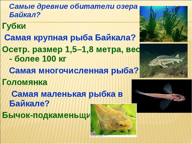 Самые древние обитатели озера Байкал? Губки Самая крупная рыба Байкала? Осет...