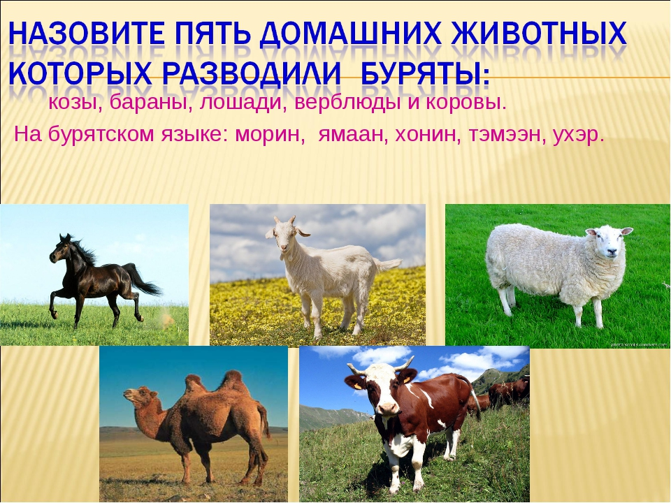 козы, бараны, лошади, верблюды и коровы. На бурятском языке: морин, ямаан, х...