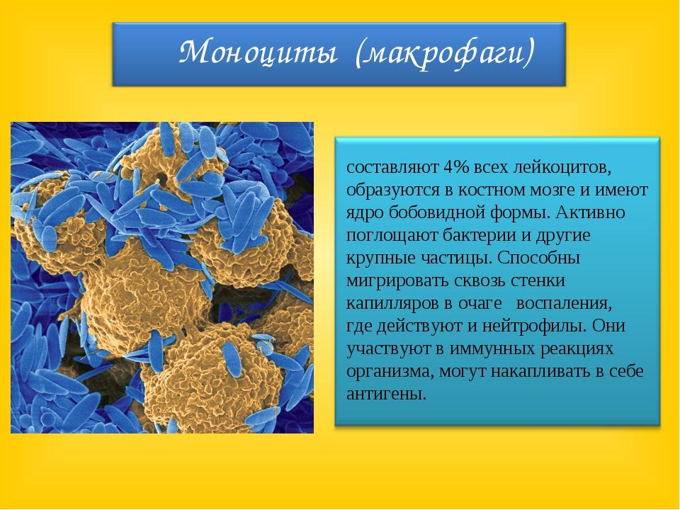 составляют 4% всех лейкоцитов, образуются в костном мозге и имеют ядро бобов...