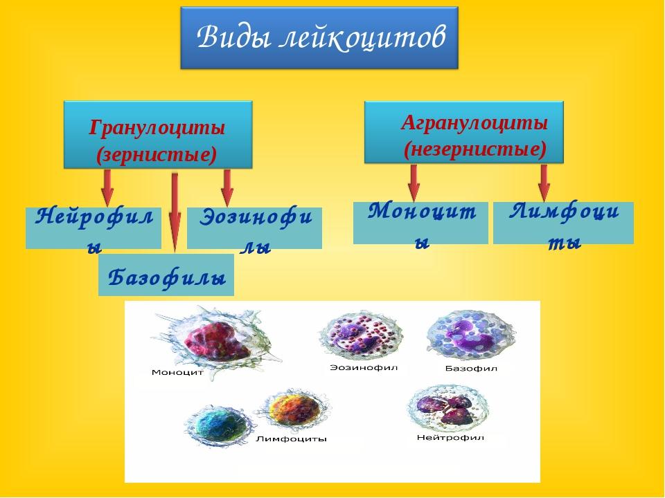 Нейрофилы Эозинофилы Базофилы Лимфоциты Моноциты