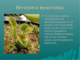 Венерина мухоловка На половинках округлых листьев венериной мухоловки находят