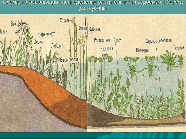 Схема, показывающая распределение растительности водоёма от берега до глубины