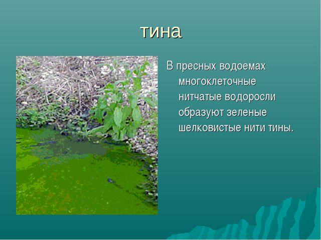В пресных водоемах многоклеточные нитчатые водоросли образуют зеленые шелкови...