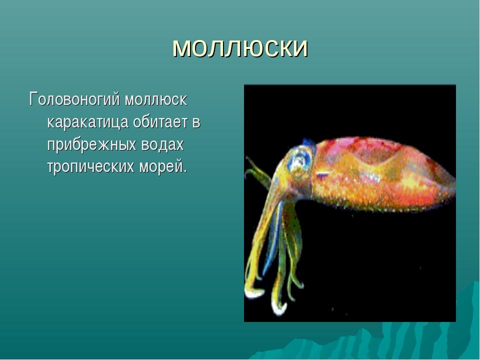 моллюски Головоногий моллюск каракатица обитает в прибрежных водах тропически...