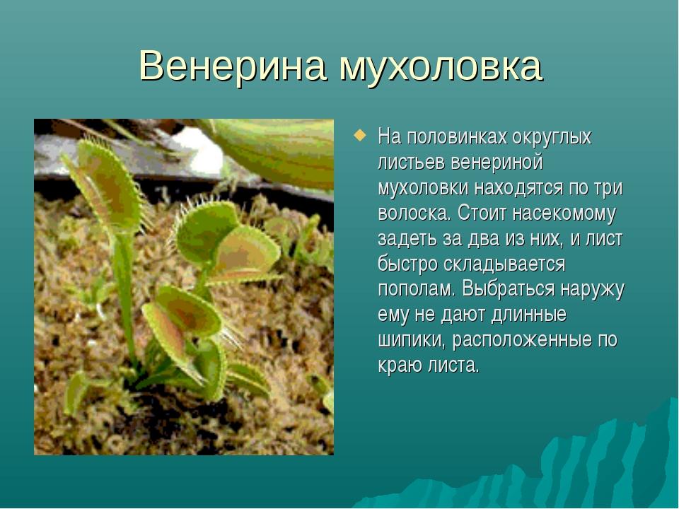 Венерина мухоловка На половинках округлых листьев венериной мухоловки находят...