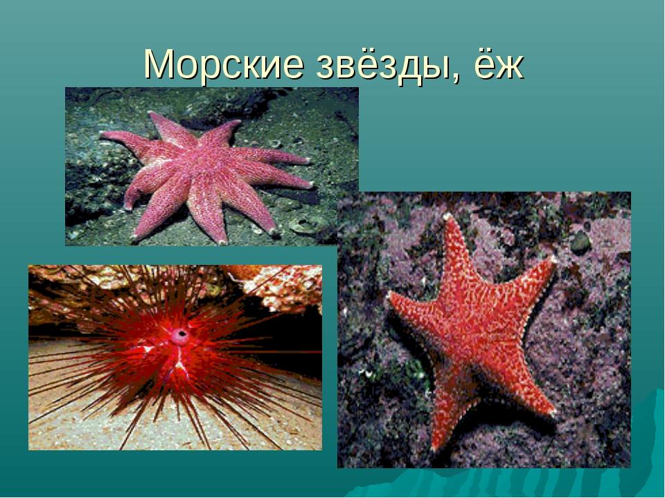 Морские звёзды, ёж