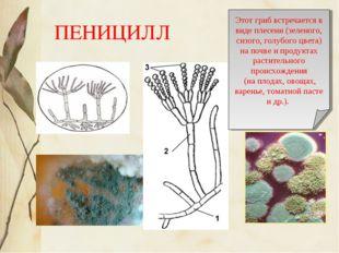 ПЕНИЦИЛЛ Этот гриб встречается в виде плесени (зеленого, сизого, голубого цве
