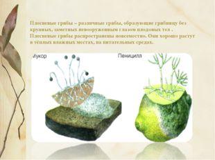 Плесневые грибы – различные грибы, образующие грибницу без крупных, заметных