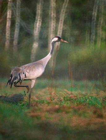 Голенастые птицы - фотографии серого журавля