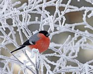 winter-season-snow-birds-frozen-finland-macro-bullfinch-branches-1920x1080-hd-wallpaper / VFL.Ru это, фотохостинг без регистраци