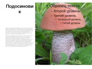 Подосиновик Подосиновик красный – (красный гриб, красюк, осиновик, красноголо