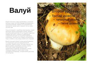 Валуй Валуй относится к роду сыроежковых, но многие грибники знают этот гриб