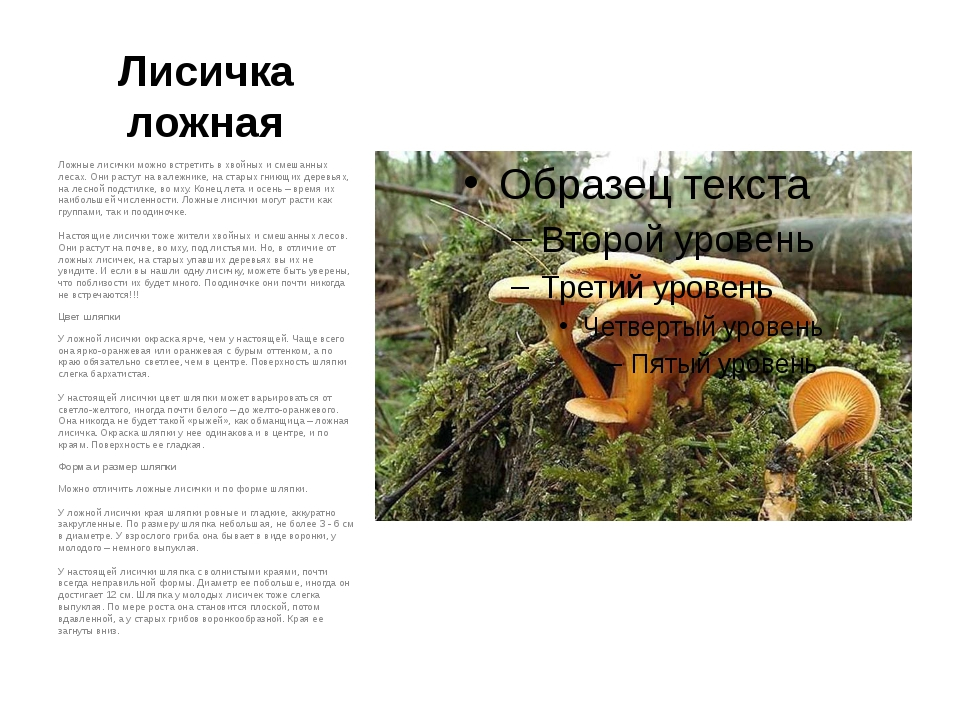 Лисичка ложная Ложные лисички можно встретить в хвойных и смешанных лесах. Он...
