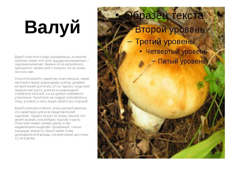 Валуй Валуй относится к роду сыроежковых, но многие грибники знают этот гриб...
