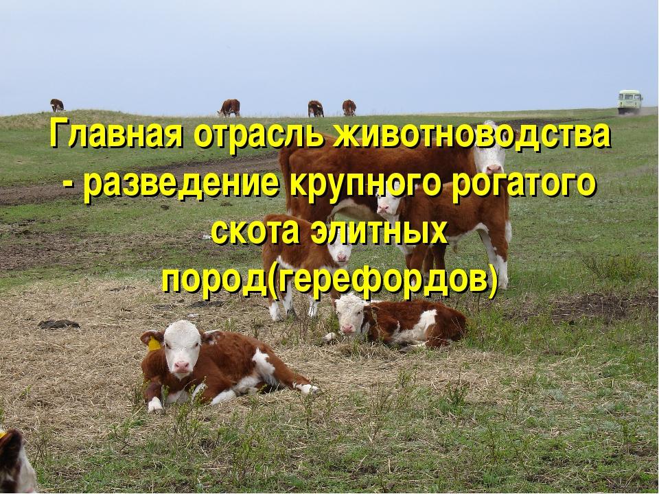 Главная отрасль животноводства - разведение крупного рогатого скота элитных...
