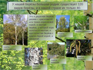 Берёза карликовая Берёза каменная Берёза вишнёвая Берёзкам, растущим на севе